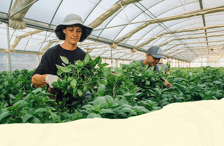 Basil in greenhouse